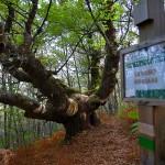 Ruta de los Castaños Milenarios en el Valle del Jerte