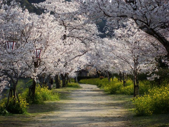Guía para ver los cerezos en flor en el Valle del Jerte